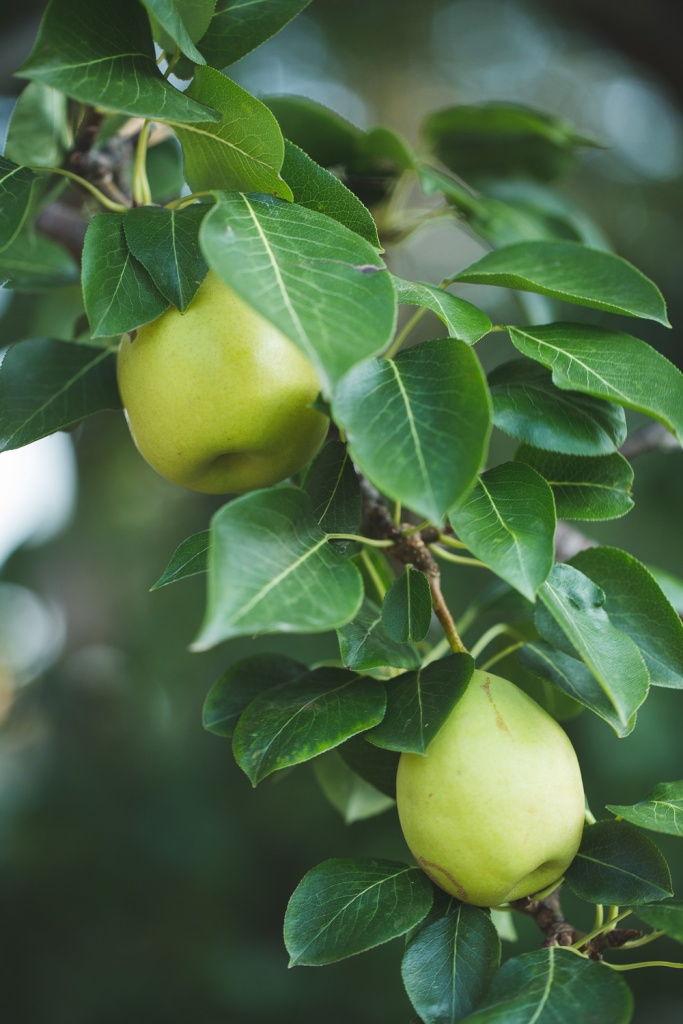 Picking Pears-12