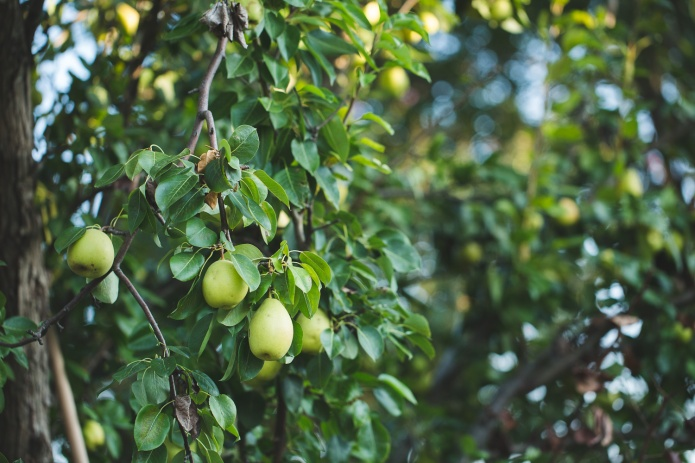 Picking Pears-13
