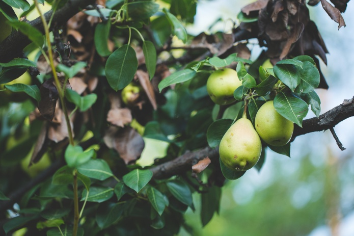Picking Pears-14