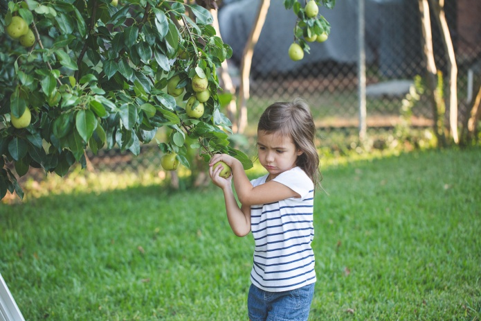 Picking Pears-15