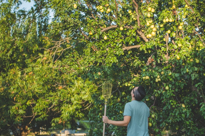 Picking Pears-17