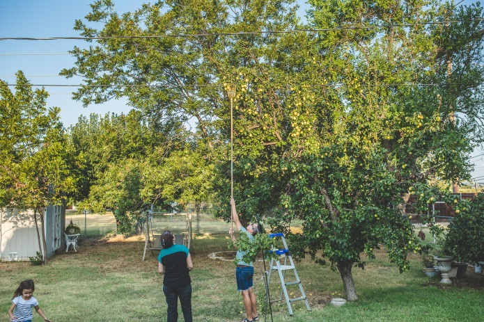 Picking Pears-18