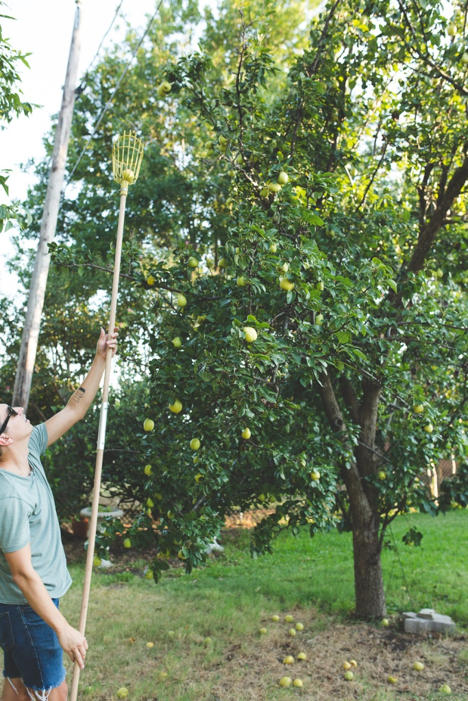 Picking Pears-19