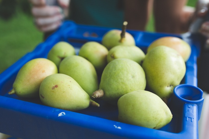 Picking Pears-21