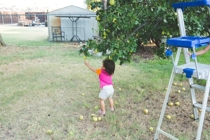 Picking Pears-23