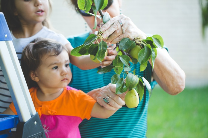 Picking Pears-7